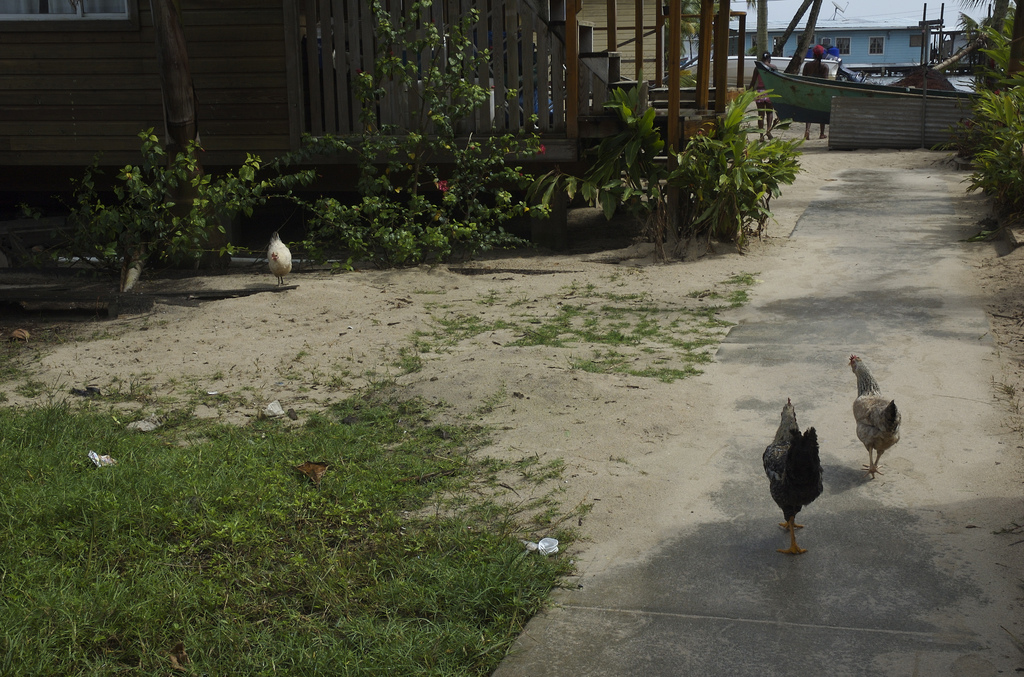 Chickens in Panama